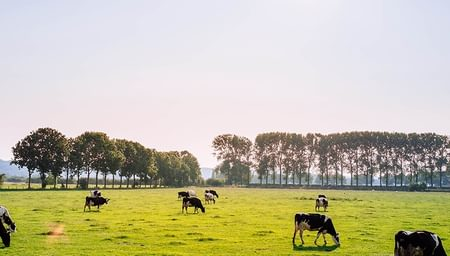 Cattle grazing an open field on a sunny day with the large trees in the distance - Gateway - net2phone Canada - Business VoIP Phone System