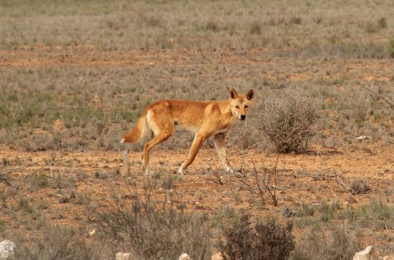 Dingo in wild