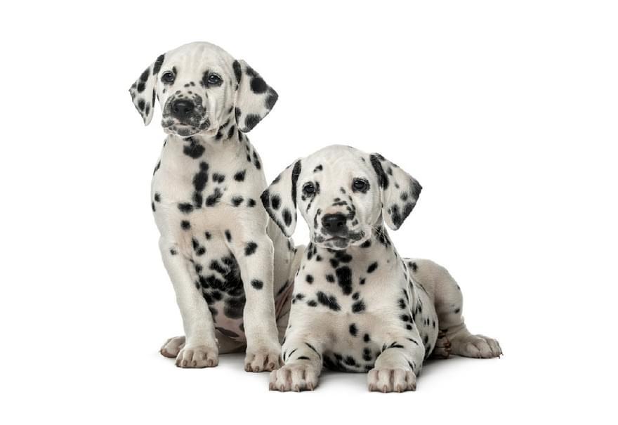 Shutterstock 346699748 dalmation puppies1020 edit