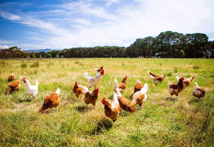 Shutterstock 365900297 chickens