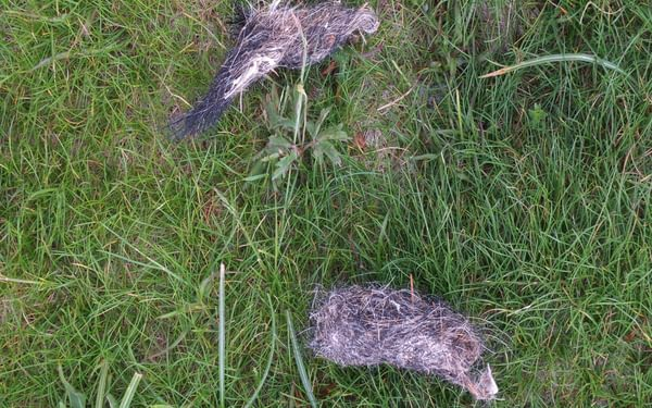 Evidence Of A Wolf's Dinner The Long Dark Hairs Belong To Wild Boar