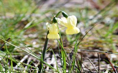 Angels Tears Daffodil