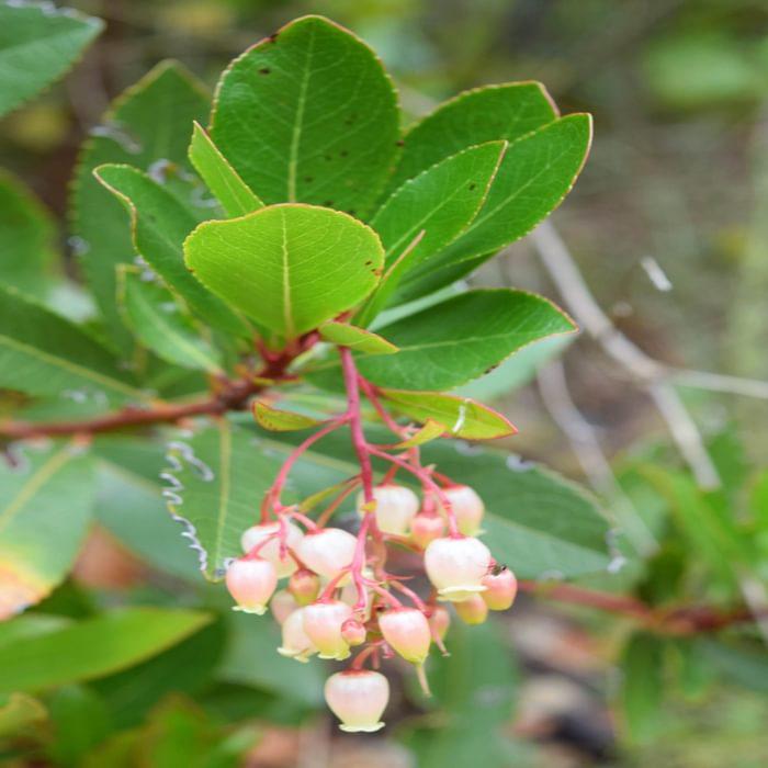 Flowers Of Strawberry Tree