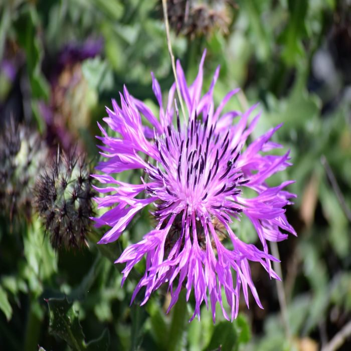 IUCN Red Listed Type Of Knapweed Limited To Costa Vicentina