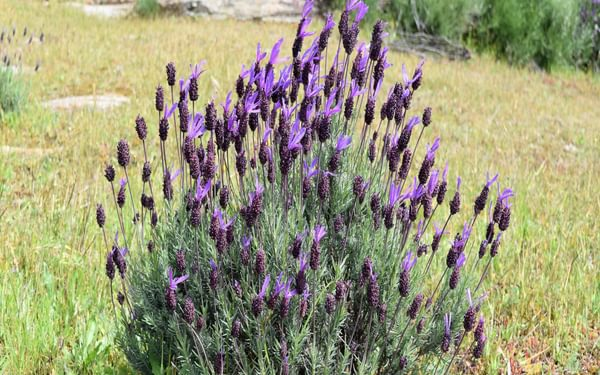 The Aromatic Topped Or French Lavender