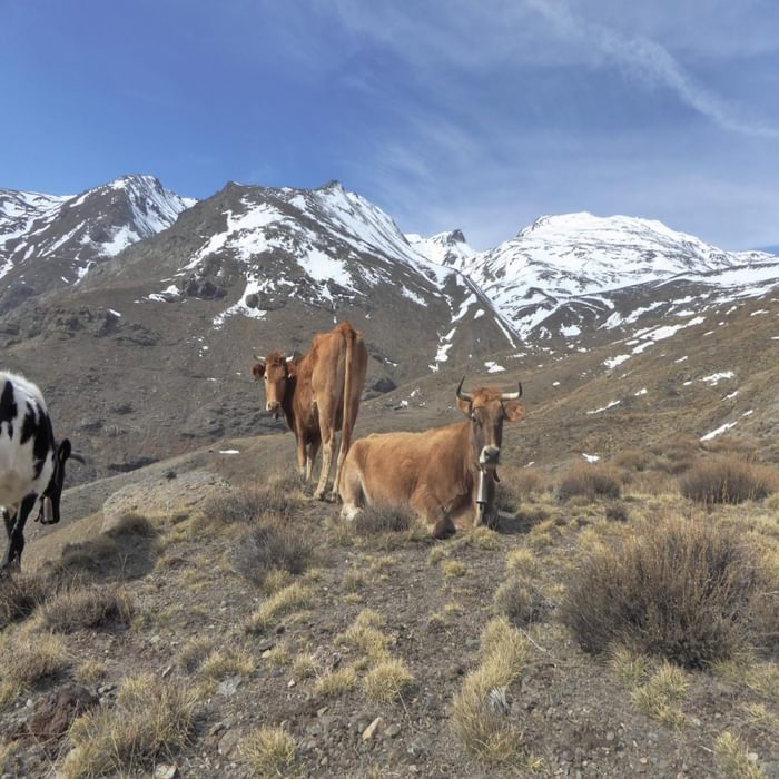 Alpujarras Cattle On The High Pastures North Of Capileira