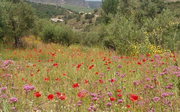 Andalucia Wildflowers Near Ronda In Springtime