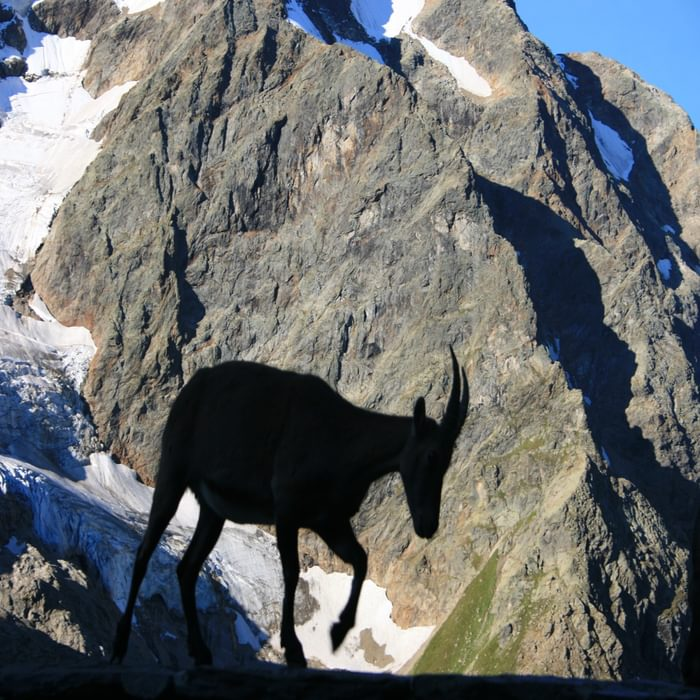 Ibex Visitor To The Gleckstein Hut