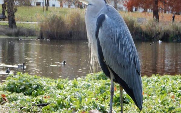 Grey Heron St Jamess Park