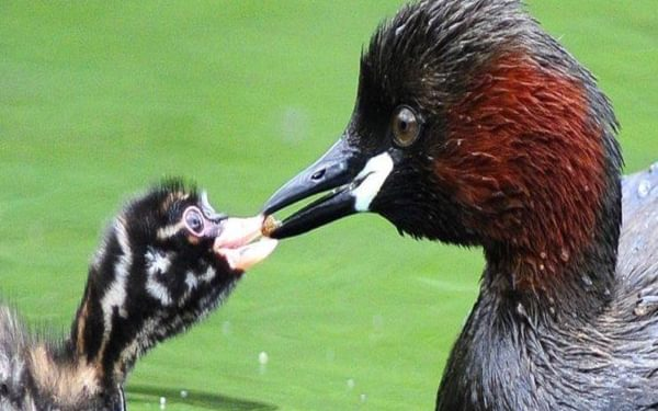 Little Grebe Feeds Chick
