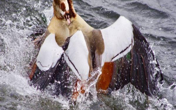 Walk 6  Walthamstow Wetlands  Two Egyptian Geese Fighting  Imgp3356 Jpg
