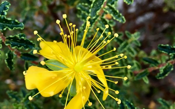 18 Hypericum Balearicum
