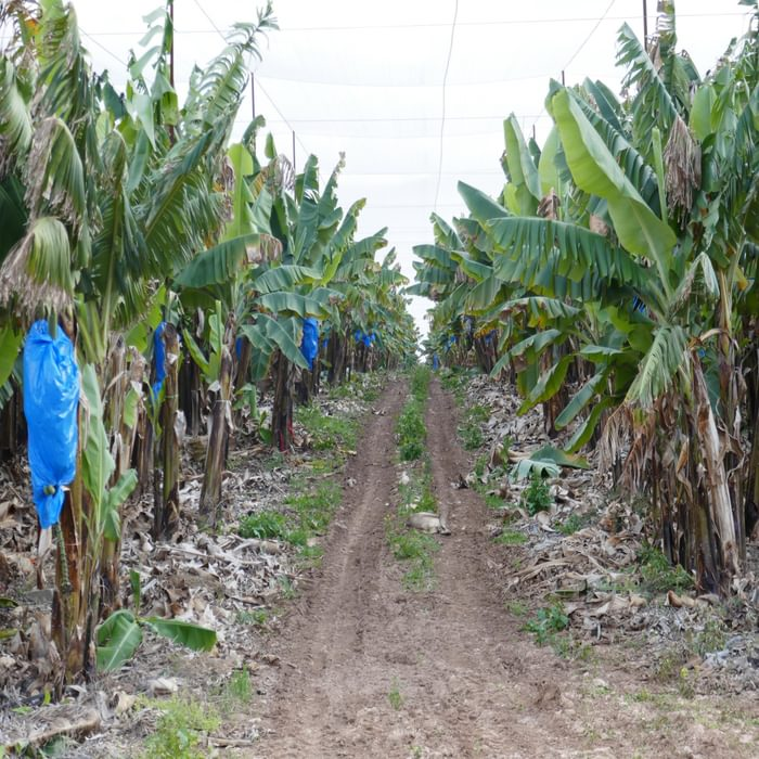 P001 The Start Of The Trail Passes Through Extensive Banana Plantations