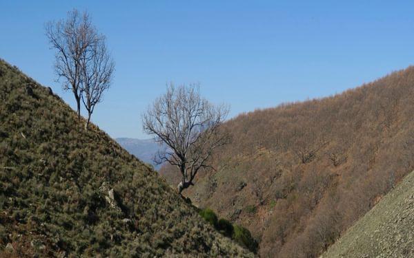 Deciduous oaks