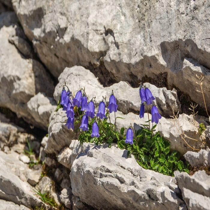 Only hardy plants like these bellflowers manage to find a foothold in the limestone