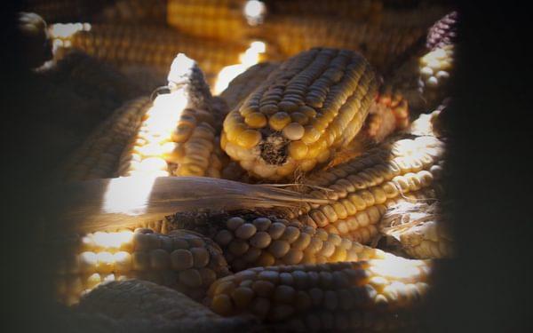 Precious maize cobs in store