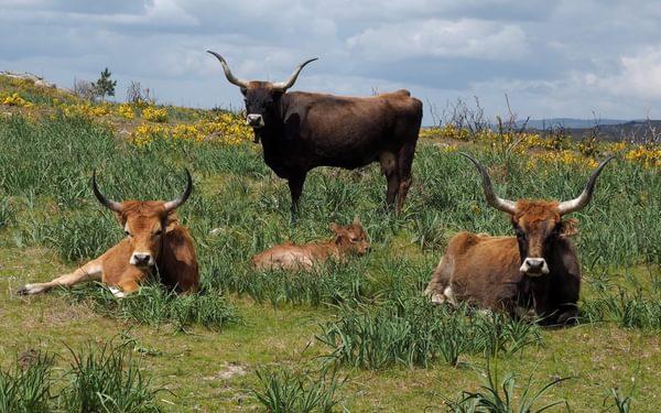 Long-horned barossa cattle