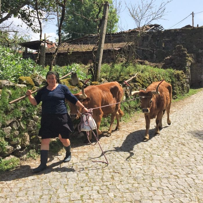 Barrosã cows in Sobredo – note the hosepipe horn protectors!