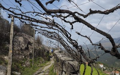 Overhead vines near Arado