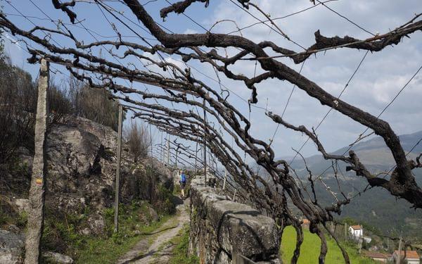 Overhead vines near Arado