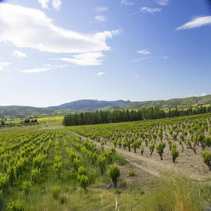 Vineyards of the Cathar region