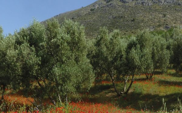 Poppies beneath the olives en route to Riogordo (Day 6)