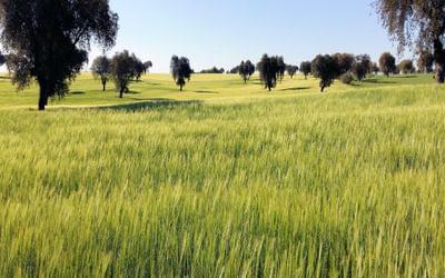 Holm Oak Dehesa with crops of barley