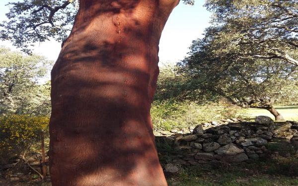 Recently harvested cork oak