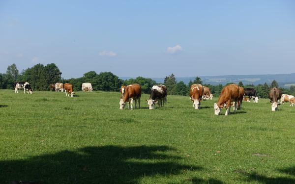 Cattle graze near Stavelot, ignoring the beautiful view (Wallonia)