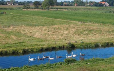 Ducks on parade near Brielle (Netherlands)