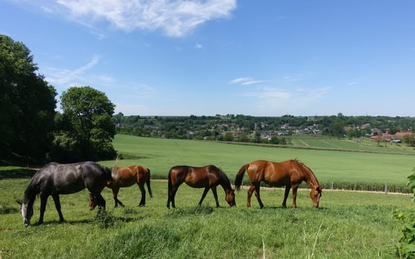 Horses graze near Wonck (Wallonia)