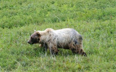 Bear at Denali Park Road