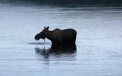 Moose Having Breakfast In Wonder Lake