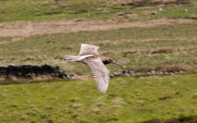 Pic8 Curlew In Geltsdale