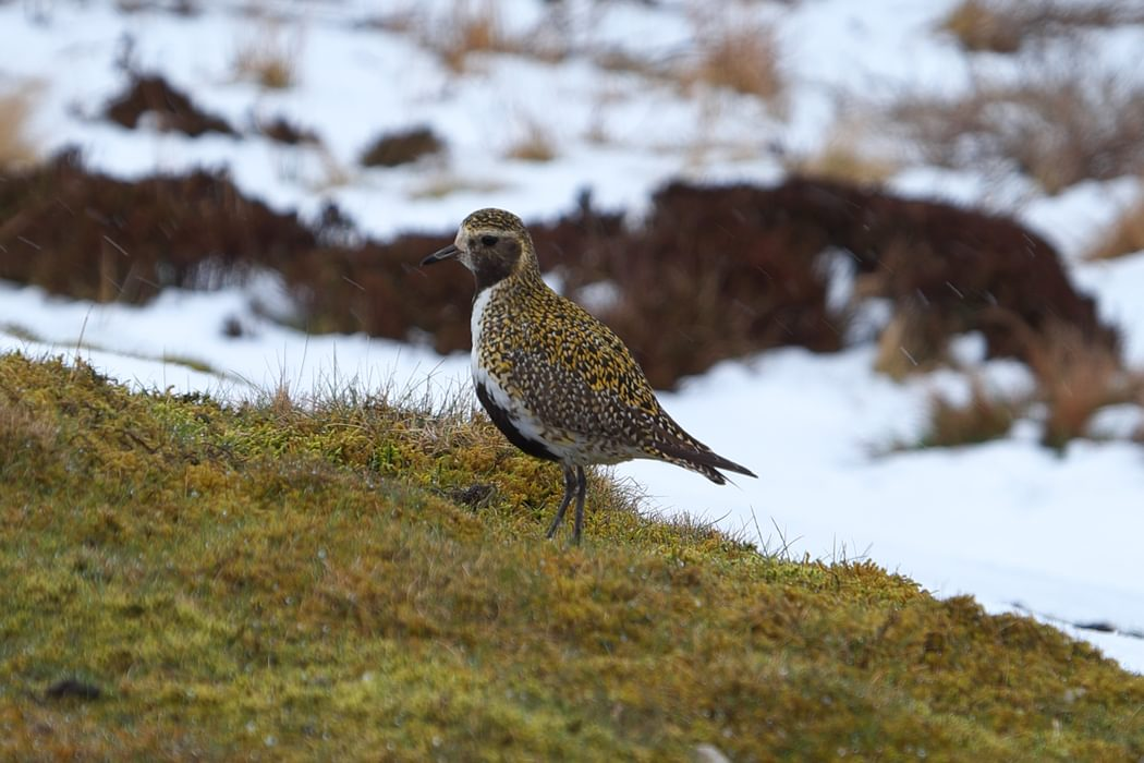 Pic9 Golden Plover