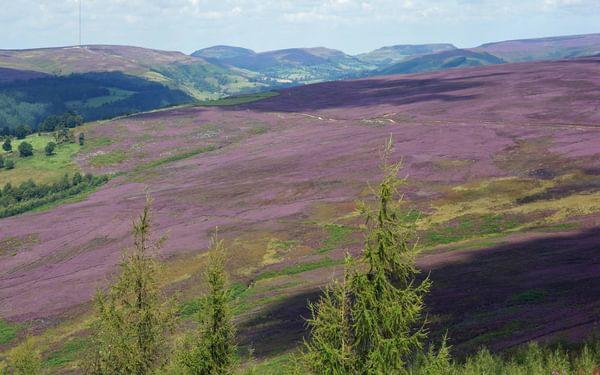 The North York Moors – a study in purple around Bilsdale