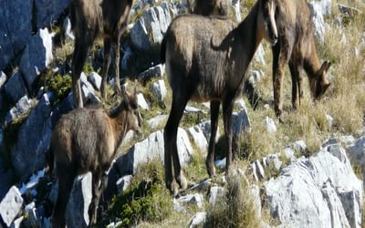 Apennine Chamois At The Head Of The Val Di Rose In The Abruzzo National Park