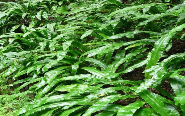 Abruzzo 009 4 Ferns in the Orfento Gorge