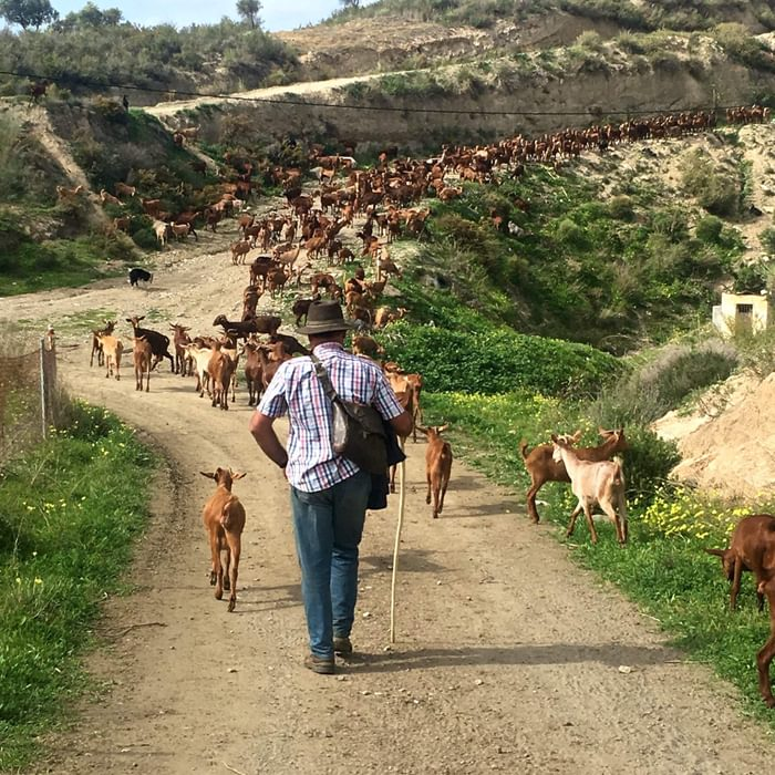 Goatherd at work