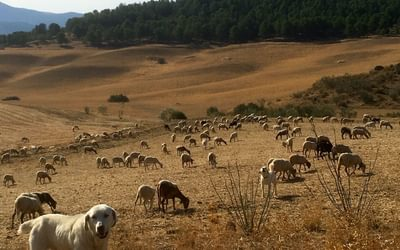 Sheep dog minds his flock in the campina