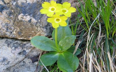 Auricula Primulas