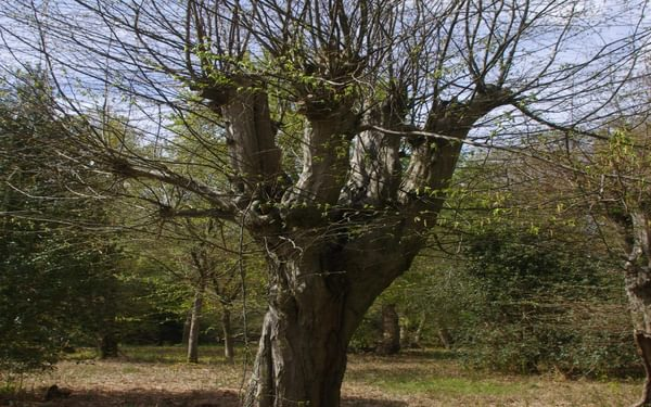 The hornbeam pollard is a staple of Epping Forest management