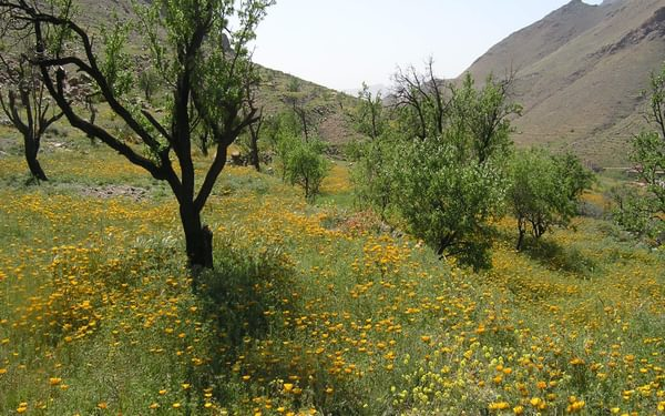 4 A  Wading Through Flowers Near Tizi Ou Manouze