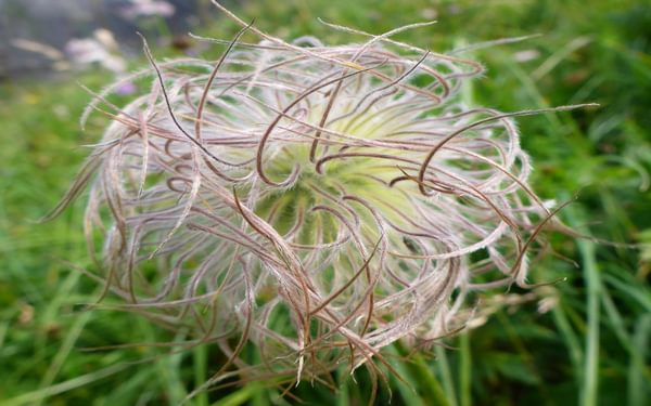 Alpine Pasqueflower seeded
