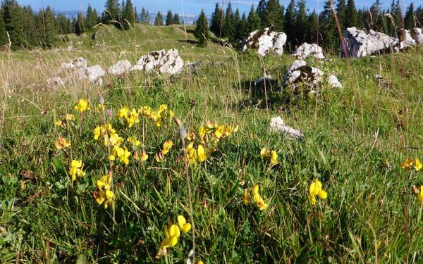 Wildflowers on the Jura