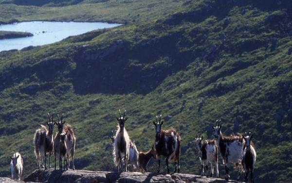 Goats on Craignaw, with Loch Enoch 04