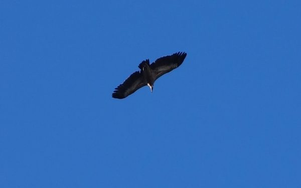 001 9 The Griffon Vulture On One Of Its Many Circles