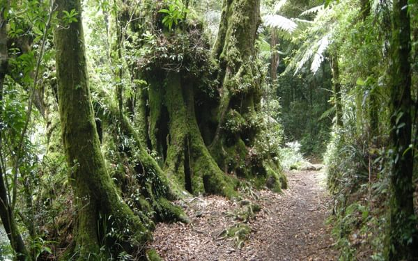 A classic scene along the Border Track, with tree ferns colonising old booyong trees with  buttress roots