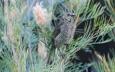 A female Regent Bowerbird in fresh Spring plumage