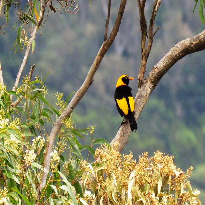 A stunning male Regent Bowerbird, one of the most distinctive birds in Australia
